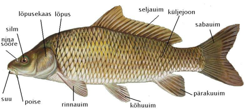 Kala uimedega