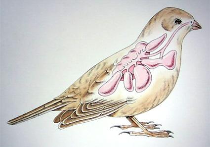 Lindudel on lisaks kopsudele veel ka õhukotid.