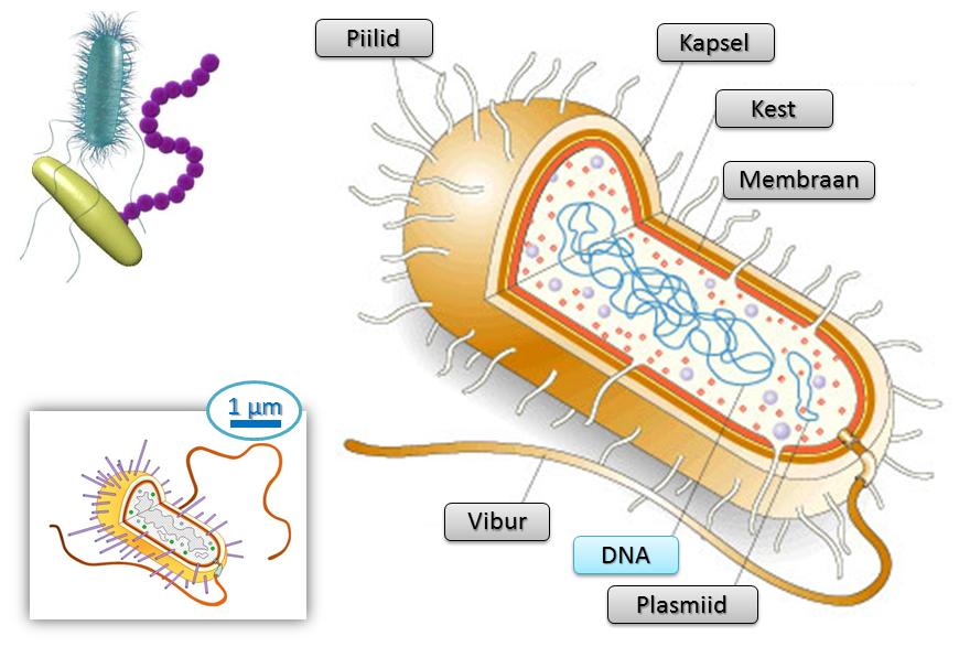 Bakterirakk