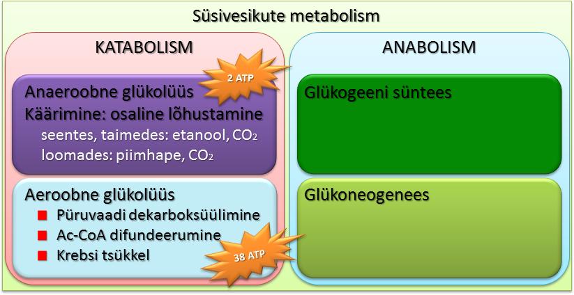 Süsivesikute metabolismi üldskeem
