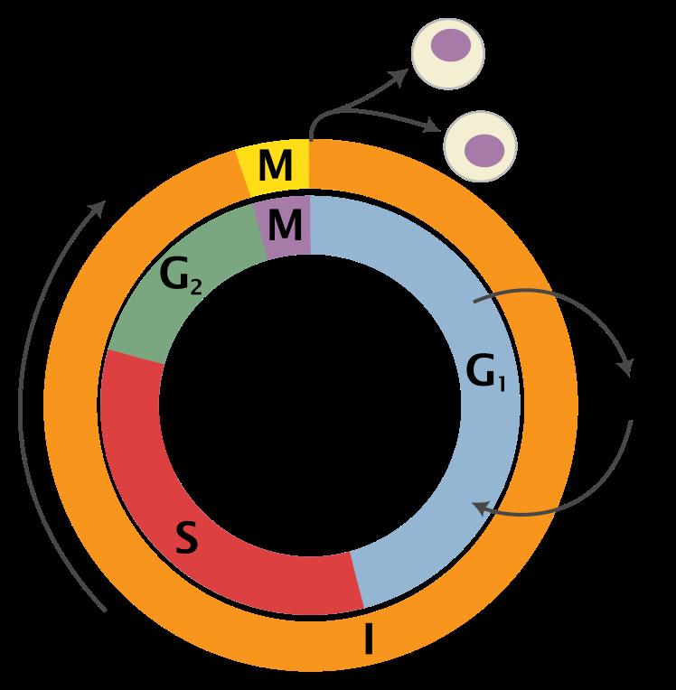 Rakutsükli skeem  (I = Interfaas, M = Mitoos, G1 = G1-faas, G2 = G2-faas, S = Süntees, G0 = Puhkefaas.)