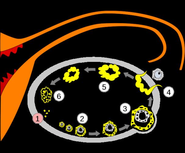 Ovulatsiooni skeem: 1) platsenta, 2) küpsevad folliikulid, 3) küps folliikul, 4) vabanev munarakk, 5) kujunev kollakeha, 6) taanduv kollakeha.