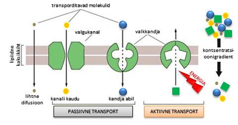 Transport membraanis