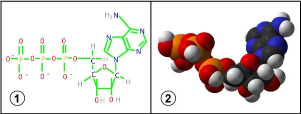 ATP molekul (1 – struktuurvalem, 2 – ruumilise mudeli kujutis)