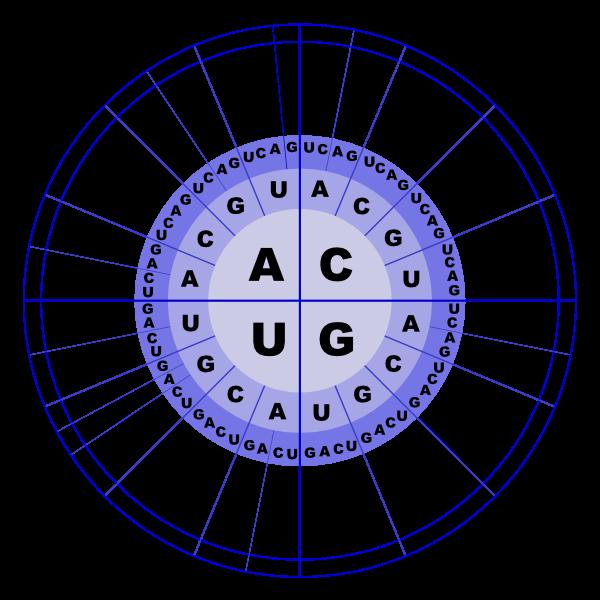 Koodipäike näitab, millisele mRNA tripletile milline aminohape vastab