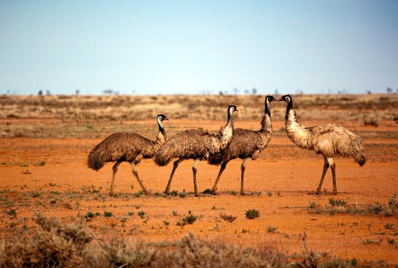 Emu Austraalias