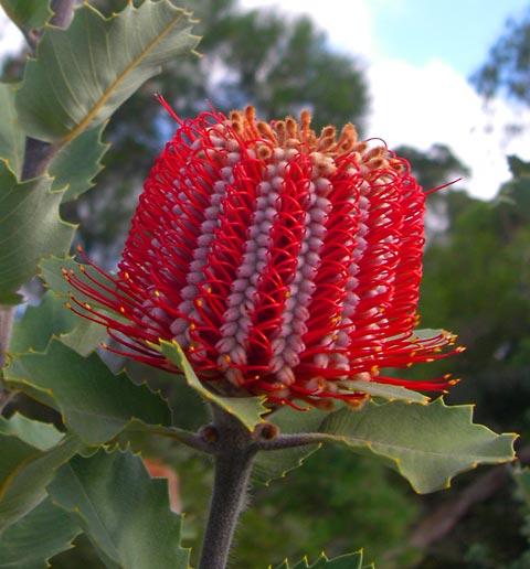 Banksia kasvab Austraalias