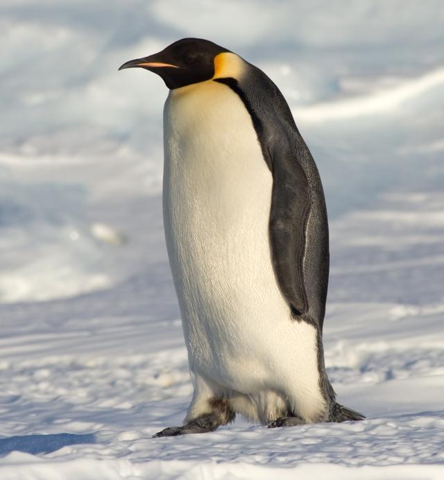 Keiserpingviin