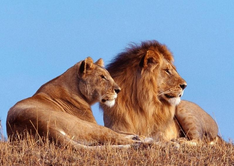 Lõvipaar