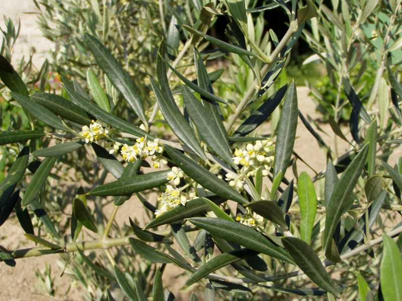 Õlipuu ehk oliivipuu