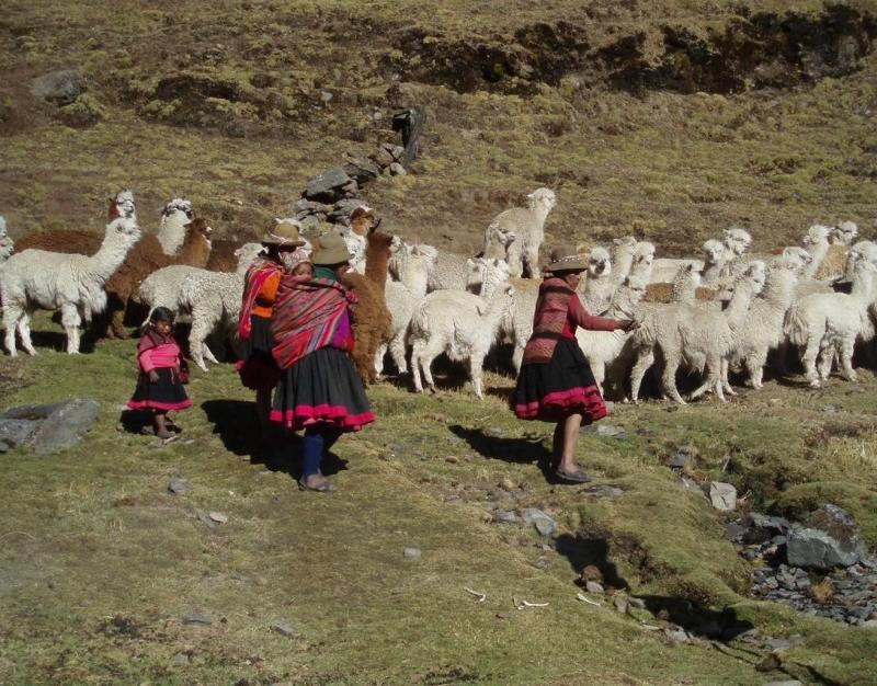 Laamasid karjatamas