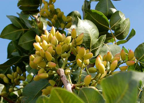 pistachio-near-carchemish-t
