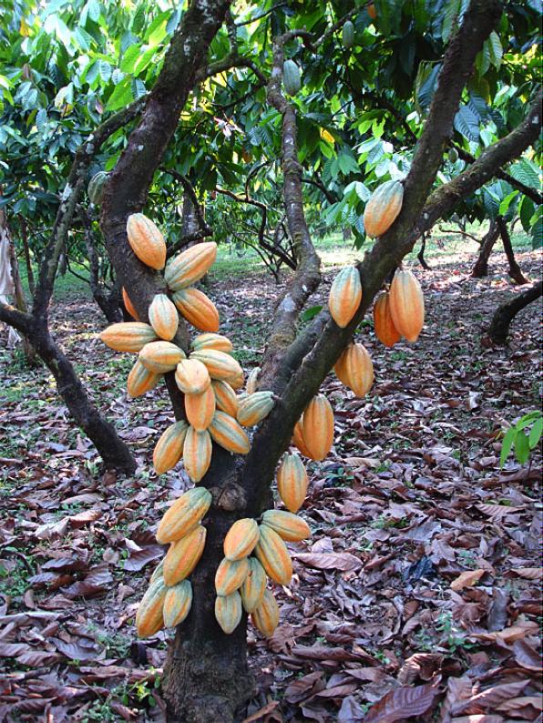Kakaopuu tüvel asuvate viljadega