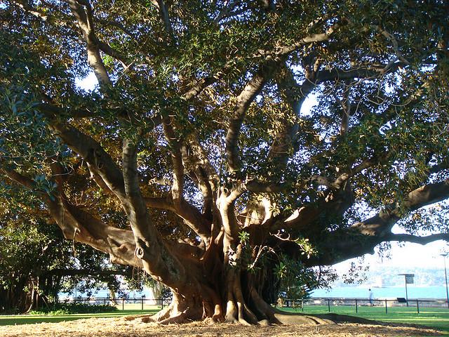 Viigipuu