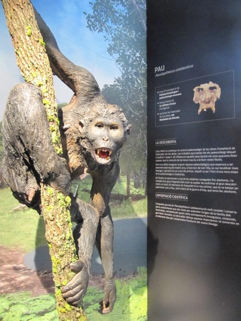 Pierolapithecus_catalaunicus_(Pau)_a_l'Institut_Català_de_Paleontologia_Miquel_Crusafont