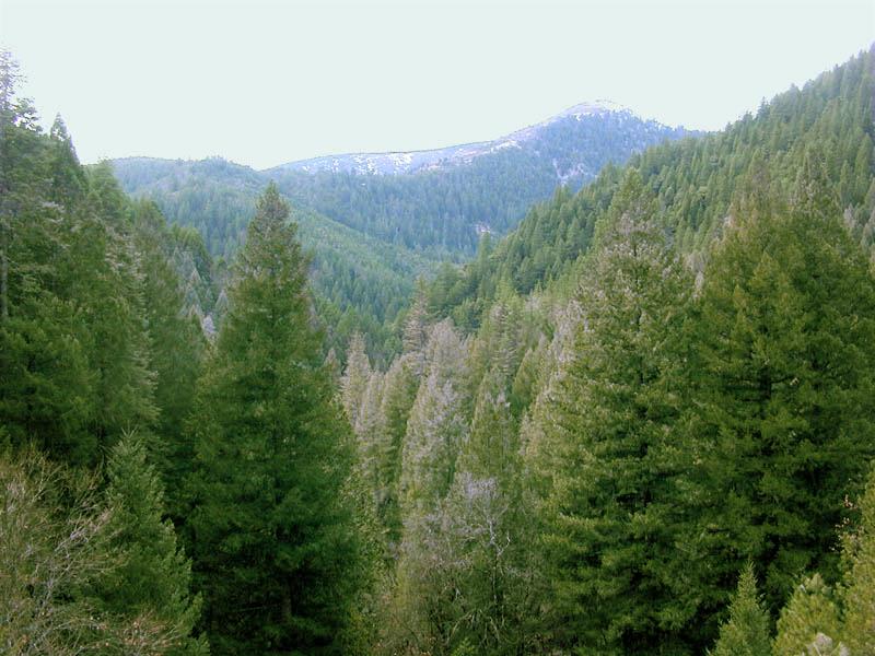 Conifer_forest_edit