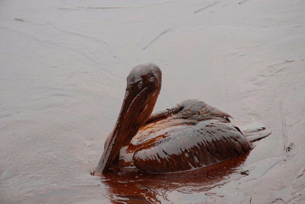 Oiled_Pelicans
