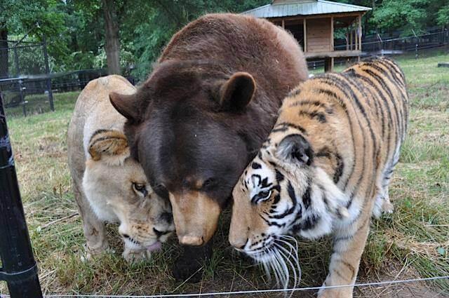loomadtiigerkarulõvi