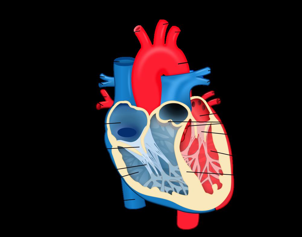 http://commons.wikimedia.org/wiki/File:Heart_diagram-et.svg