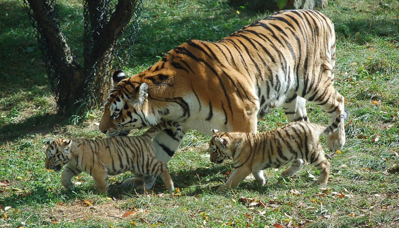 tigers-5-1309426-1278x730
