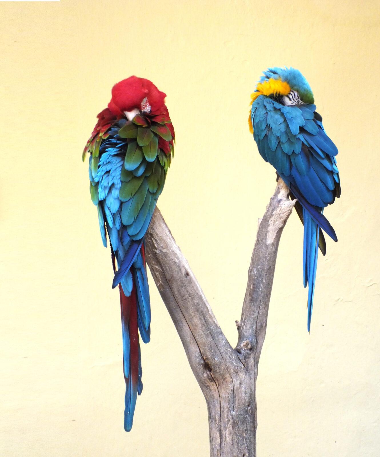 Puu otsas magavad papagoid.